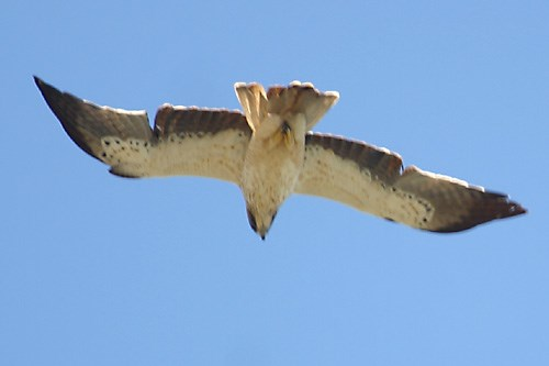 Aguila calçada  (Hieraetus pennatus)